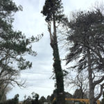 Abattage d'un Séquoia centenaire à Salon de Provence (Bouches du Rhône)