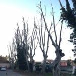 Elagage de plusieurs platanes à Entressen (Bouches du Rhône)