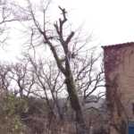 Abattage de chênes à l'Abbaye de Salon de Provence (Bouches du Rhône)