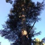 Abattage d'un cèdre centenaire, 30 m de hauteur, au Château du Cagnard à Aix en Provence