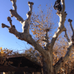 Taille de haut platanes à Salon de Provence